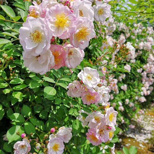 昆明蔷薇苗 爬藤蔷薇