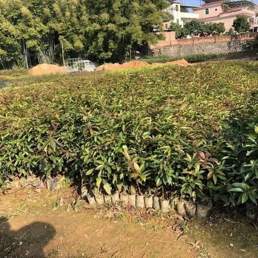 广州木荷袋苗  荷木容器苗