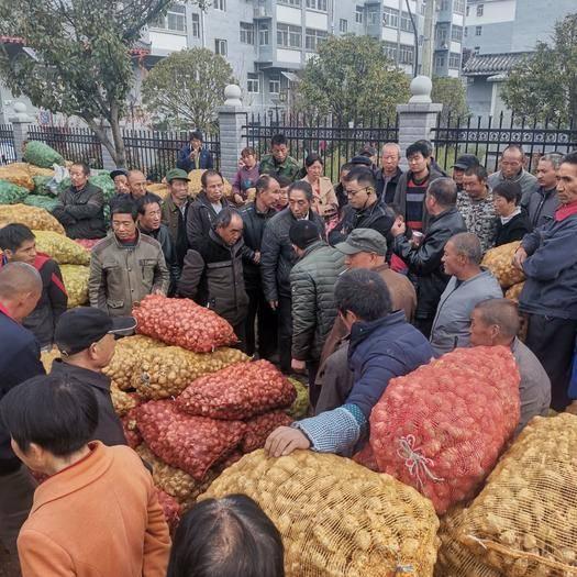 商洛商州区 洋姜,通货量大,产地直供。可提供网袋包装。