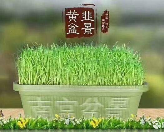 邢台南宫市韭黄盆景 15斤头茬一级黄韭盆景