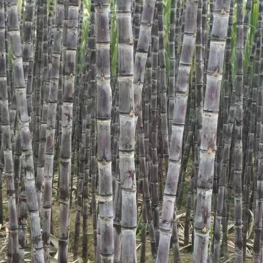 博白縣 廣西黑皮甘蔗,產地直銷