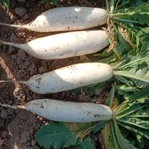 河北省邯郸市大名县白萝卜 混装通货