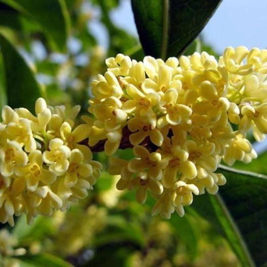 成都桂花树种子 桂花种子四季桂种子金桂种子新种子包邮