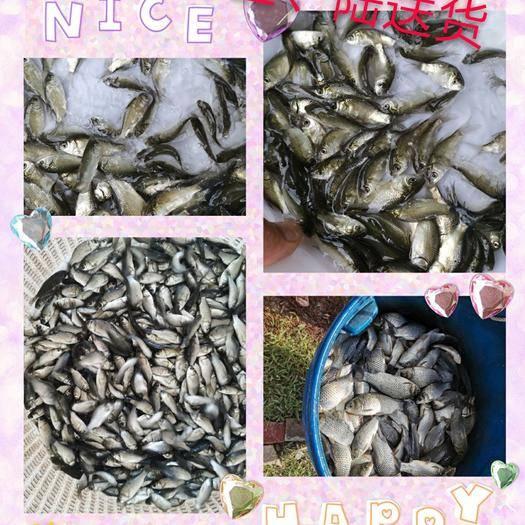 佛山 大量出售东北鲫、快大鲫,大鳞片,32片鳞,长身,生长速度快