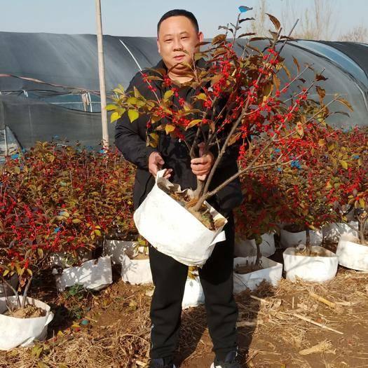 泰安岱岳區 北美冬青 切枝專用  三年地栽苗