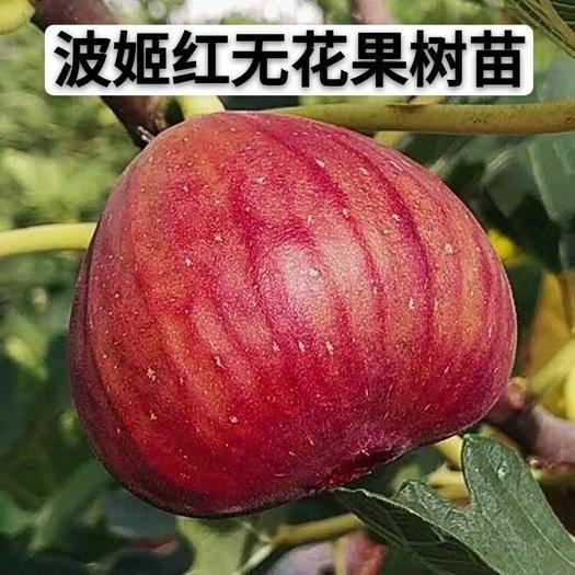 临沂平邑县 波姬红无花果树苗,南北方种植盆栽地栽包成活包结果