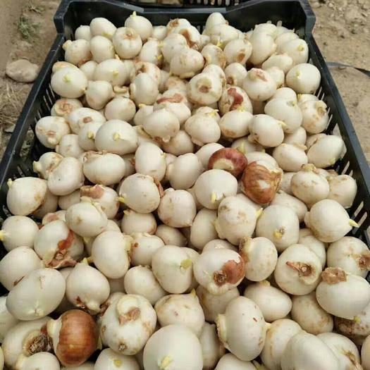 昆明呈贡区郁金香种子 荷兰进口郁金香种球,品种多,价格低,花海的最好选择,欢迎订购