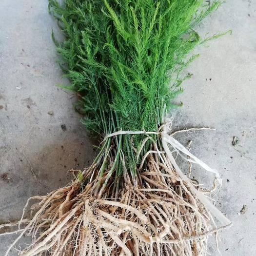 濟南 蘆筍種苗一二三年苗基地直供成活率高春秋種植