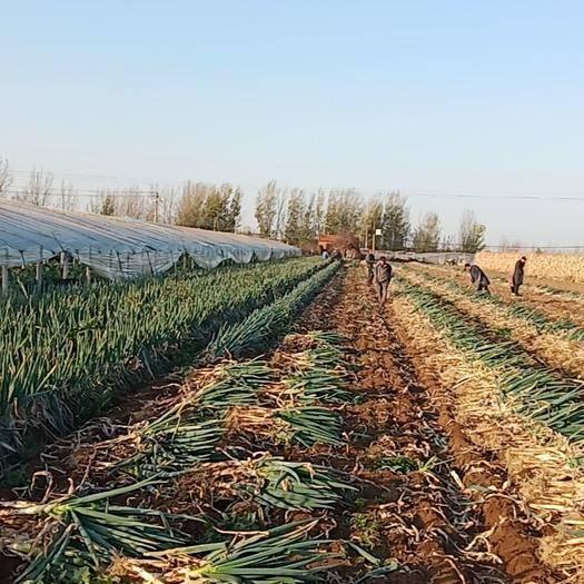 山东省青岛市即墨区铁杆大葱 产地直供 常年有货