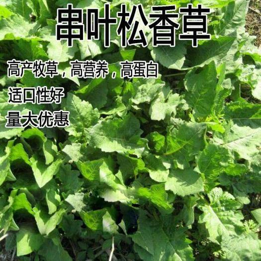 宿迁沭阳县 高产串叶松香草种子多年生猪牛羊鹅畜禽草籽