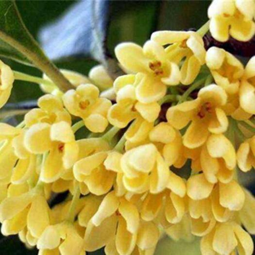 郑州 桂花树种子四季桂金桂种子新种子包邮