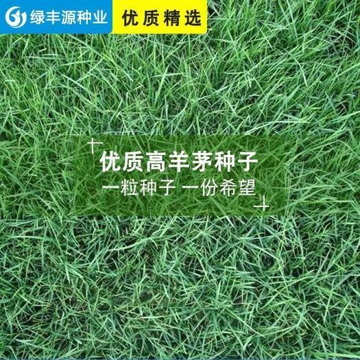 宿迁沭阳县 高羊茅种子高羊茅草种高羊茅草坪种子高羊毛草籽四季常青进口草种