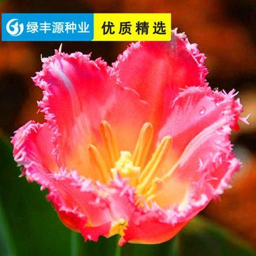 宿迁沭阳县郁金香种子 荷兰进口12+郁金香种球五度球批发