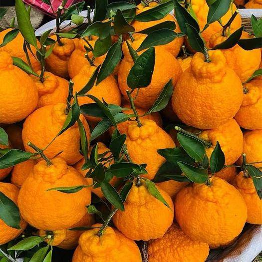 眉山東坡區 正常發貨現摘現發四川不知火丑橘丑八怪新鮮水果丑柑