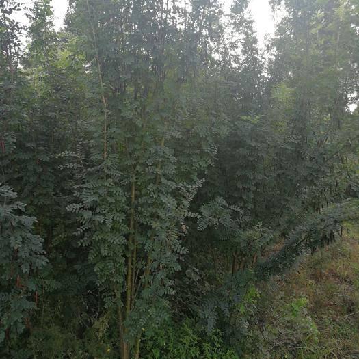 黑河爱辉区绿茶种子