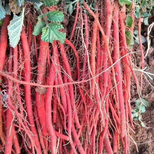 保定安國市 基地產夠含量丹參。種子和秧苗