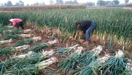 河北省沧州市东光县 长白大葱供应基地,欢迎考查订购,货源充足,随到随装,保质保量