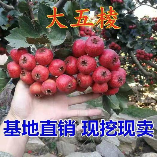 临沂平邑县 大五棱山楂苗,南北方适宜种植,基地直销三包发货