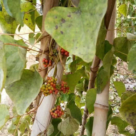 赣州赣县区 粉防己种子已售完,要的等明年了。