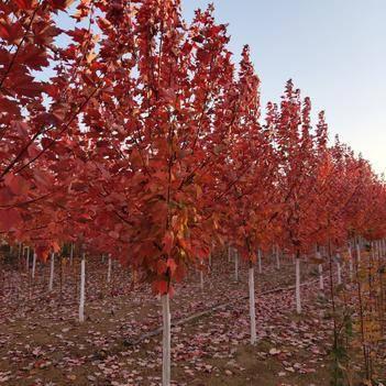 美国红枫苗,红冠苗,十月关辉苗,秋火焰价格