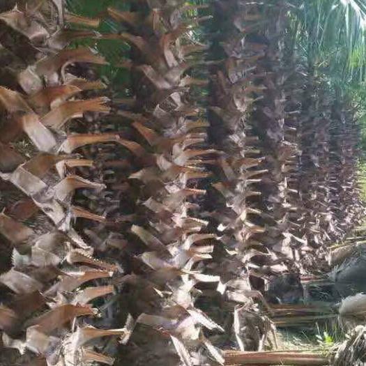漳州薌城區老人葵 各種各樣的規格都有
