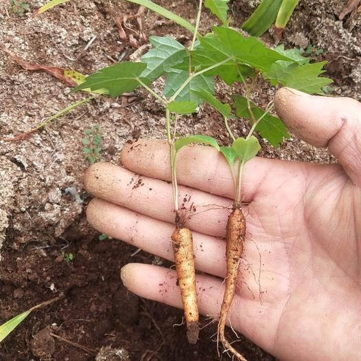 宜昌夷陵区 白蔹苗,种子,种苗