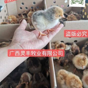 k9鸡苗  (高销量热卖)肉鸡苗麻黄鸡苗,包打疫苗假一赔十