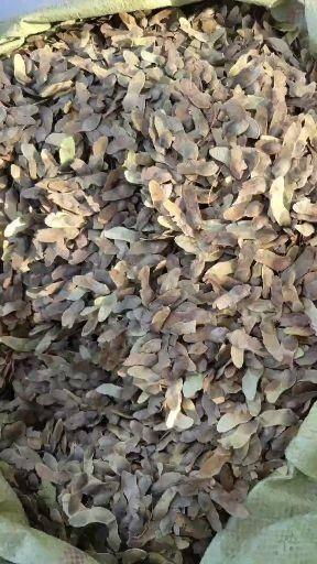 菏泽牡丹区 新采五角枫种子