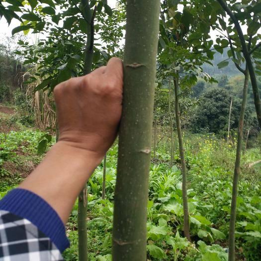 宜宾翠屏区红豆树苗 鄂西红豆树
