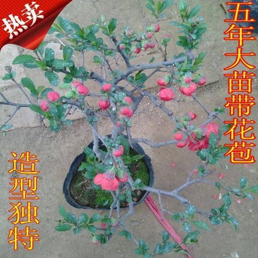 臨沂河東區造型海棠 長壽冠海棠,造型苗盆栽苗