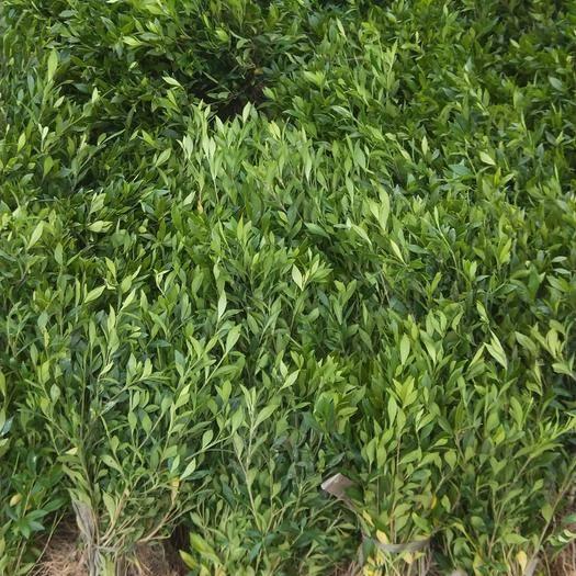杭州 綠化苗木小葉梔子花