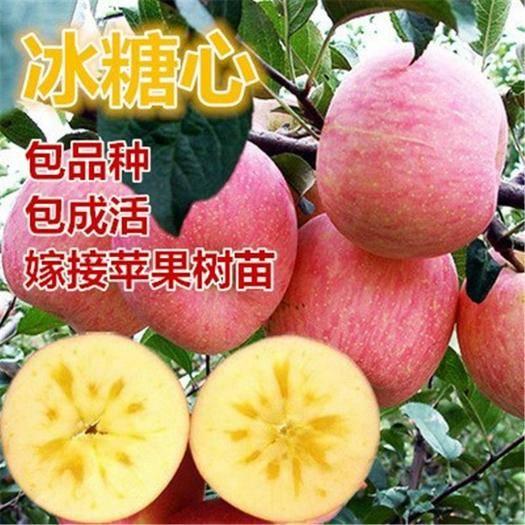 临沂平邑县冰糖心苹果苗 嫁接苗 品种齐全 南北方均可种植 包成活包品种