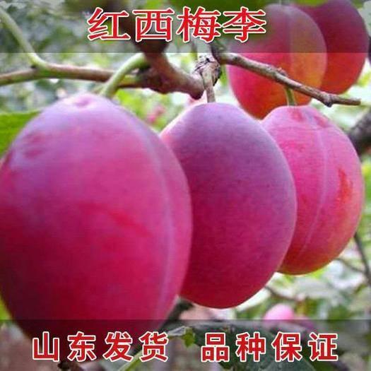 临沂平邑县西梅苗 嫁接红西梅李子树苗 南北方均可种植 品种齐全 包成活包品种