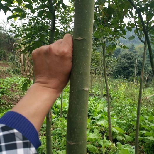 宜宾翠屏区 鄂西红豆树苗