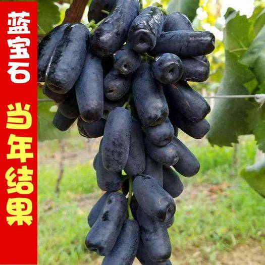 临沂平邑县蓝宝石葡萄苗 嫁接苗 品种齐全 南北方均可种植 包成活包品种