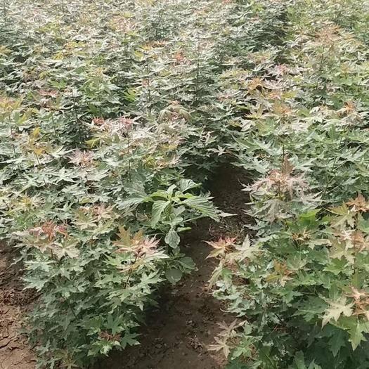 运城绛县五角枫苗 当年五角枫小苗,五角枫种植基地,1-2-3公分五角枫出售!