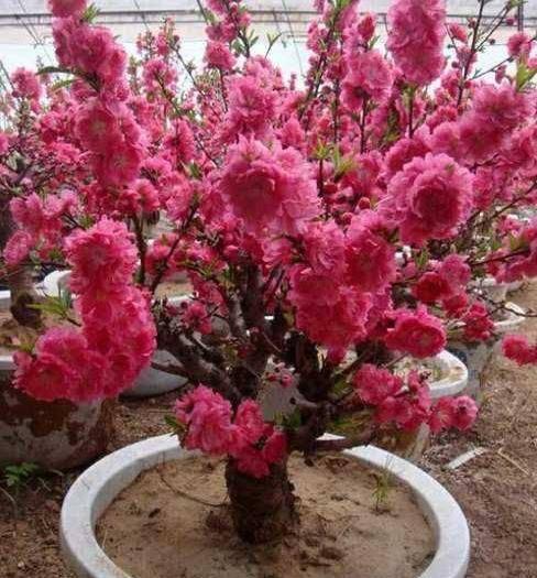 平邑縣 桃梅苗 優質一級苗 顏色有玫紅色 粉色 大紅色 品質純正