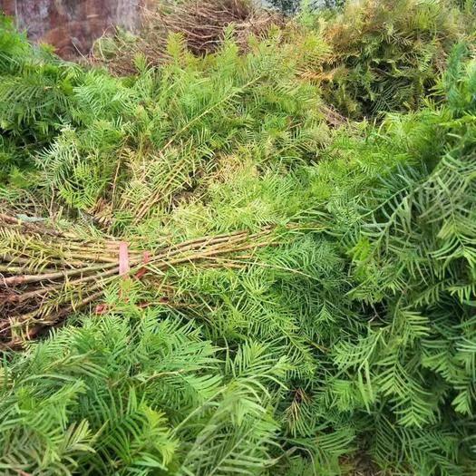 恩施土利川市 本合作社是水杉之鄉,有專業的國家水杉種苗站,作技術指導,