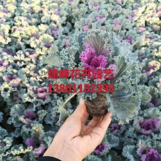常州羽衣甘藍 自產自銷,常年供應草花。