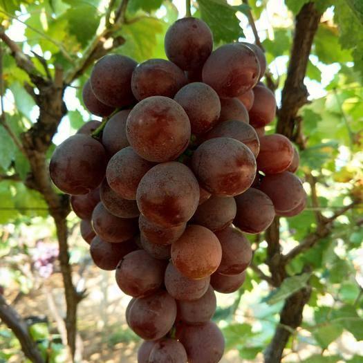 沂源县 老板们好。本人有,优质红提葡萄十万斤粒大果甜。