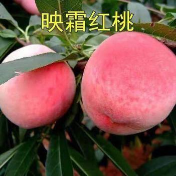 映霜红桃树苗包品种包结果优质嫁接苗现挖现发保证成活率南北方