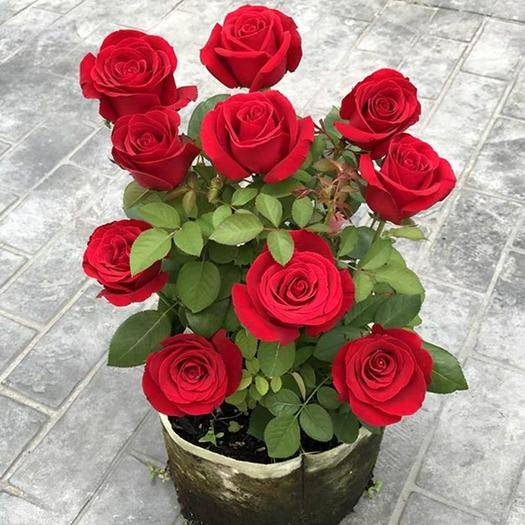 臨沂平邑縣 玫瑰花苗 玫瑰花盆栽 好養 根系發達 成活率高