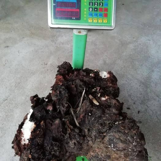 赣州南康区 松兜茯苓菌种