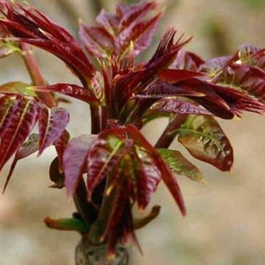 临沂平邑县红油香椿苗 红油香椿树苗 南北方种植 食用红油香椿树苗 包品种