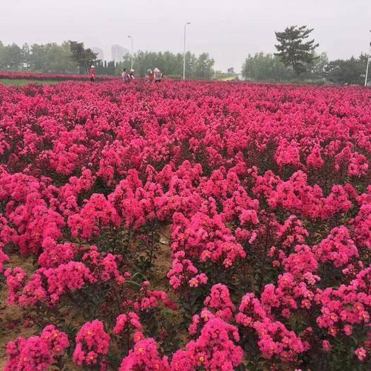 西安臨潼區三紅紫薇 美國紅葉紫微,花海首選品種,耐零下25度,當年種當年花海