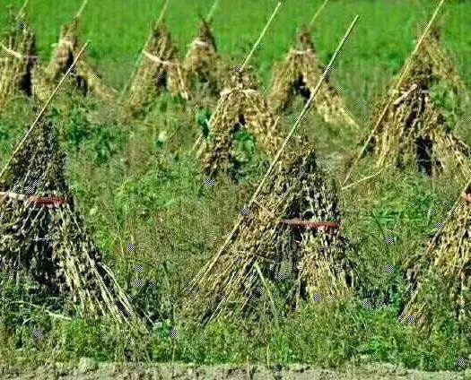 南陽唐河縣小磨香油 農家自產自銷純天然無農藥,一手貨源。質量保證。假一賠十。