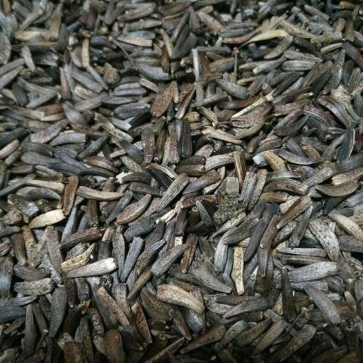 迪慶維西傈僳族自治縣 云木香種子 自產自銷售數量有限