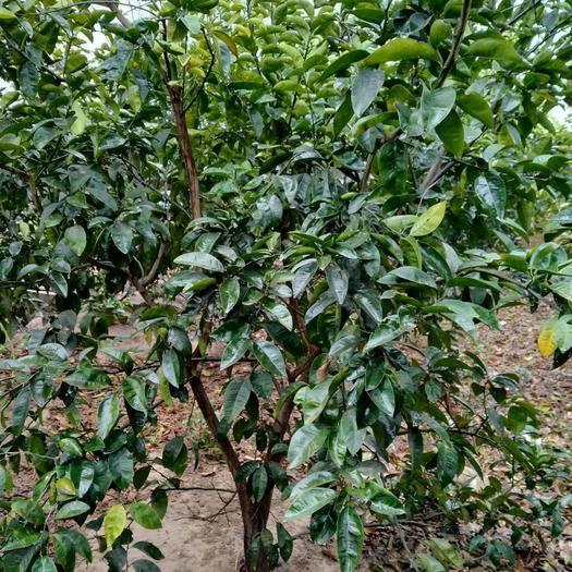 吉安新干縣 正宗商洲枳殼掛果大樹