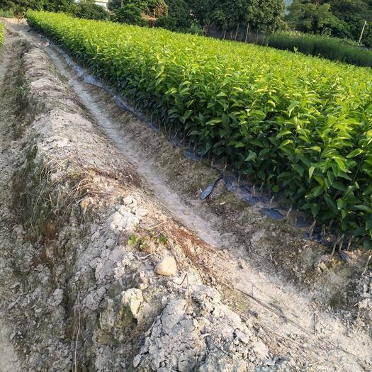 钦州农技人员 提供嫁接技术工人已从业20年以上