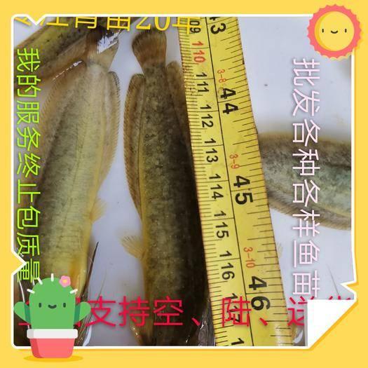 佛山三黄塘鲺 三黄塘角鱼,一斤40-50尾